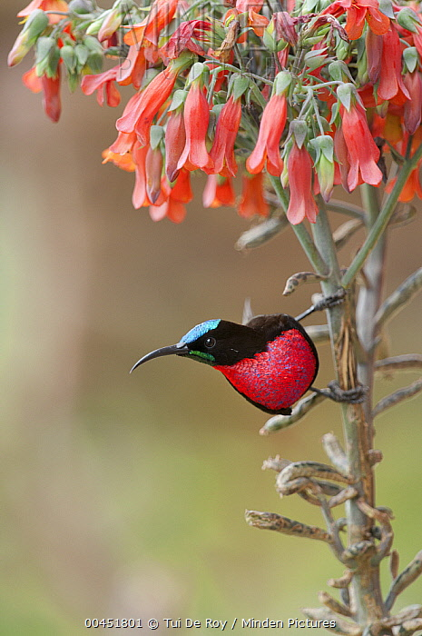 Scarlet-chested Sunbird (Nectarinia senegalensis), Mpala Research Centre, Kenya  -  Tui De Roy