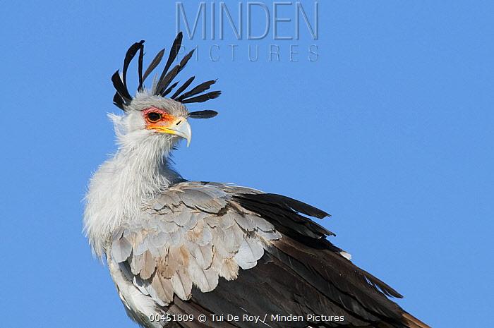 Secretary Bird (Sagittarius serpentarius), El Karama Ranch, Kenya  -  Tui De Roy