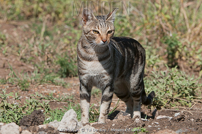 Domestic Cat (Felis catus) Sokoke breed originating from coastal Kenya, Nanyuki, Kenya  -  Tui De Roy