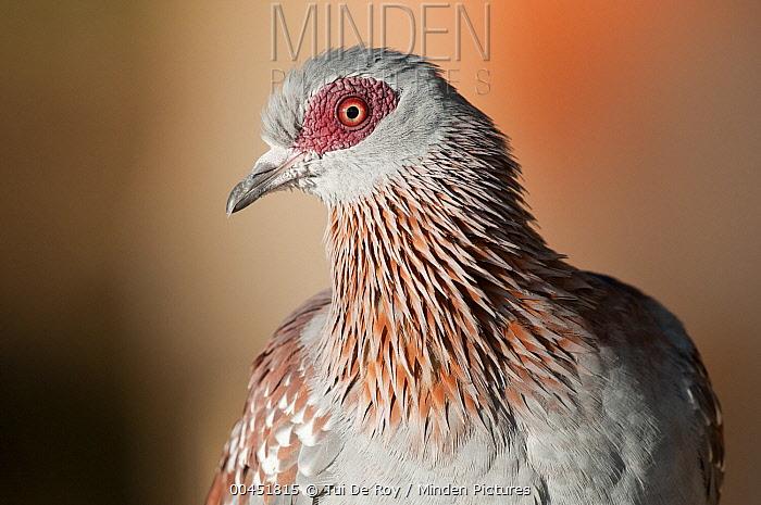 Speckled Pigeon (Columba guinea), Mpala Research Centre, Kenya  -  Tui De Roy