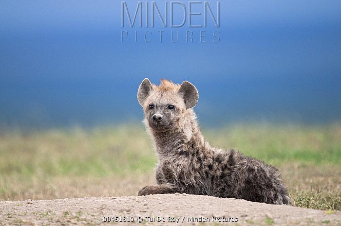 Spotted Hyena (Crocuta crocuta), Ol Pejeta Conservancy, Kenya  -  Tui De Roy