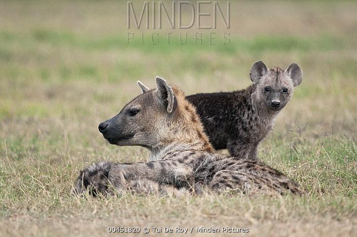 Spotted Hyena (Crocuta crocuta) mother and cub, Ol Pejeta Conservancy, Kenya  -  Tui De Roy