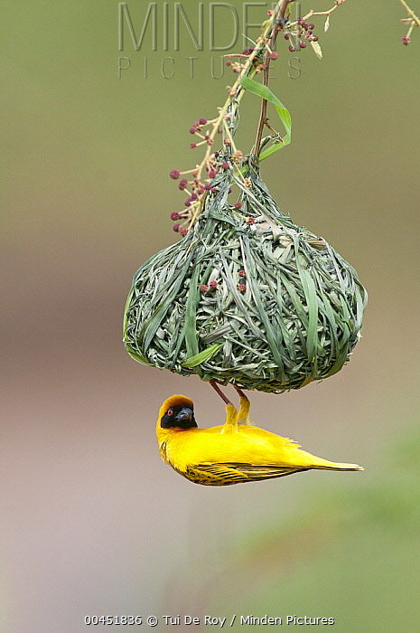 Vitelline Masked-Weaver (Ploceus vitellinus) male hanging from nest, Mpala Research Centre, Kenya  -  Tui De Roy