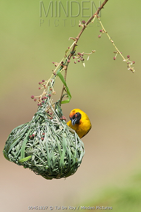 Vitelline Masked-Weaver (Ploceus vitellinus) male on nest, Mpala Research Centre, Kenya  -  Tui De Roy