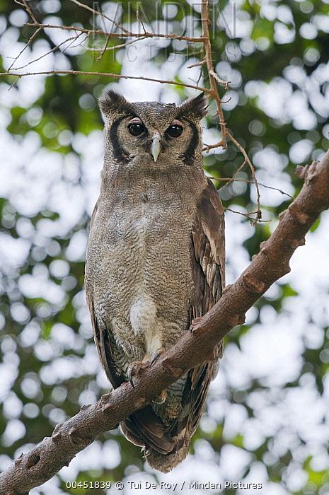 Verreaux's Eagle-Owl (Bubo lacteus), Mpala Research Centre, Kenya  -  Tui De Roy