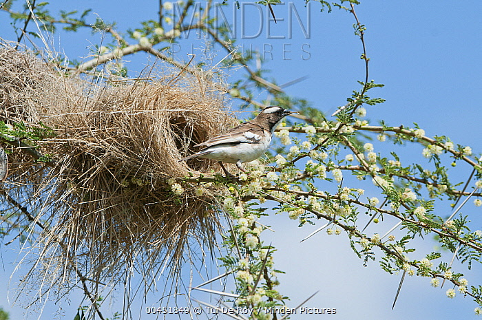 White-browed Sparrow-Weaver (Plocepasser mahali) male weaving nest, Mpala Research Centre, Kenya  -  Tui De Roy