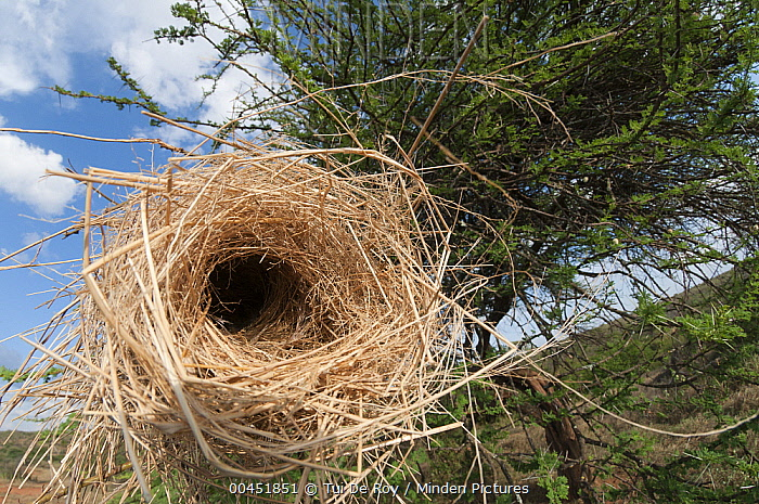 White-browed Sparrow-Weaver (Plocepasser mahali) nest, Loisaba Wilderness, Kenya  -  Tui De Roy