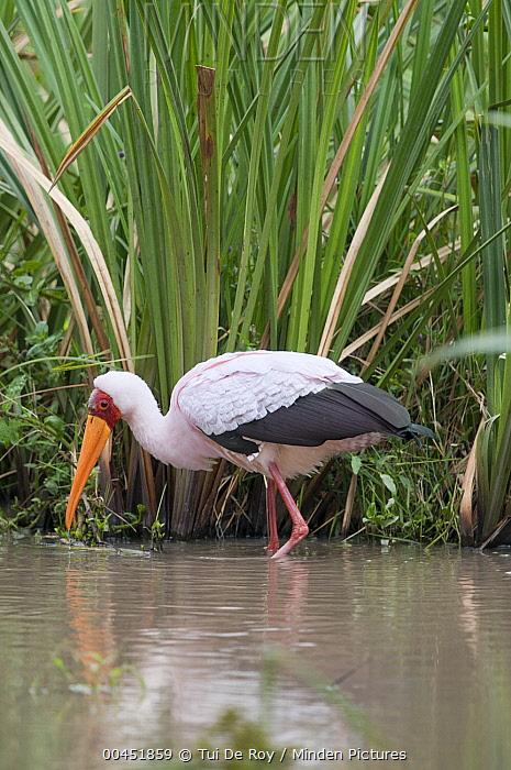 Yellow-billed Stork (Mycteria ibis) wading, Solio Game Reserve, Kenya  -  Tui De Roy