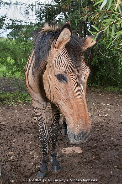 Domestic Horse (Equus caballus) and Grevy's Zebra (Equus grevyi) hybrid, Mount Kenya Wildlife Conservancy, Kenya  -  Tui De Roy