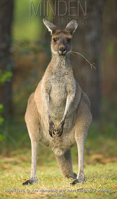 Western Grey Kangaroo (Macropus fuliginosus) female in Pinnaroo Valley Memorial Park, an environmentally responsible cemetery, Perth, Western Australia, Australia  -  Yva Momatiuk & John Eastcott
