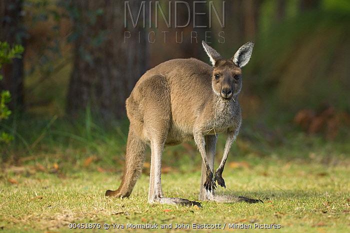 Western Grey Kangaroo (Macropus fuliginosus) in Pinnaroo Valley Memorial Park, an environmentally responsible cemetery, Perth, Western Australia, Australia  -  Yva Momatiuk & John Eastcott