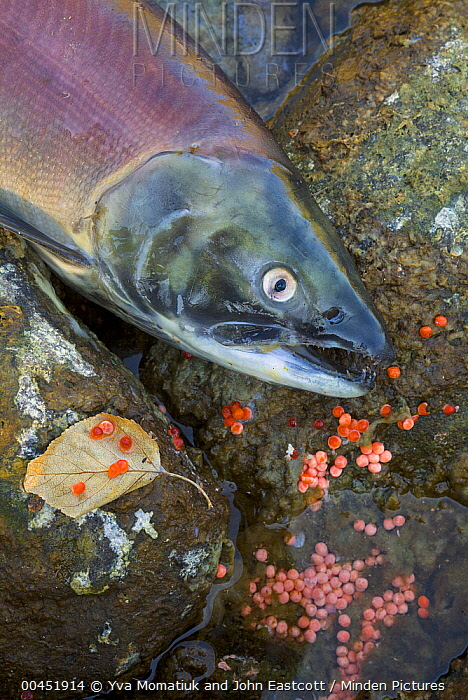 Sockeye Salmon (Oncorhynchus nerka) discolored carcass and fish eggs near banks of Adams River at end of spawning run, Roderick Haig-Brown Provincial Park, British Columbia, Canada