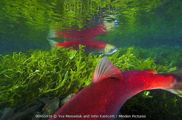 Sockeye Salmon (Oncorhynchus nerka) male and female swimming in small stream during spawning run, Roderick Haig-Brown Provincial Park, British Columbia, Canada