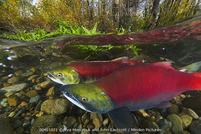 Sockeye Salmon (Oncorhynchus nerka) female and male swimming together and looking for clean gravel to spawn in, Adams River, Roderick Haig-Brown Provincial Park, British Columbia, Canada