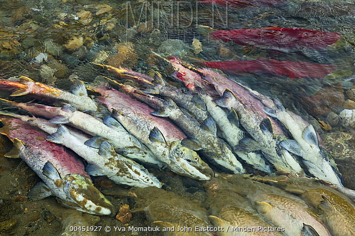 Sockeye Salmon (Oncorhynchus nerka) discolored carcasses along banks of Adams River at end of spawning run, Roderick Haig-Brown Provincial Park, British Columbia, Canada