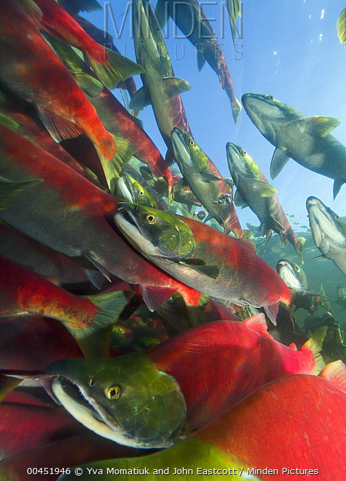 Sockeye Salmon (Oncorhynchus nerka) group swimming in fast current during spawning run, Adams River, Roderick Haig-Brown Provincial Park, British Columbia, Canada