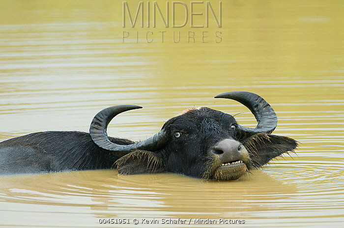 Asiatic Buffalo (Bubalus bubalis) in water, Yala National Park, Sri Lanka  -  Kevin Schafer