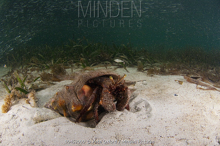 Giant Hermit (Petrochirus diogenes) on sandy ocean floor, Belize Barrier Reef, Belize  -  Pete Oxford