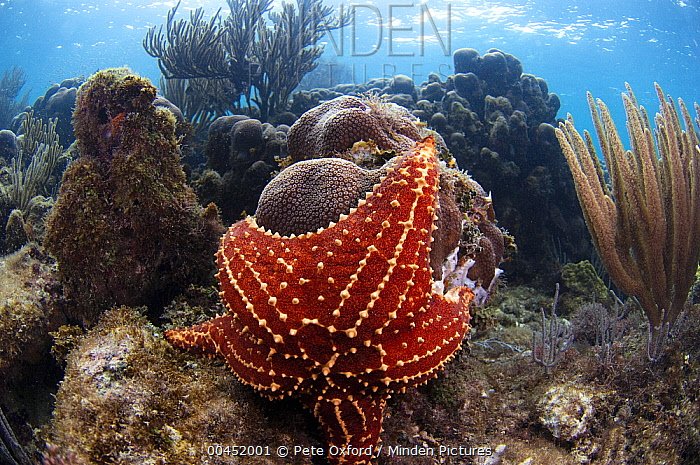 Cushioned Star (Oreaster reticulatus) feeding on coral, Belize Barrier Reef, Belize  -  Pete Oxford