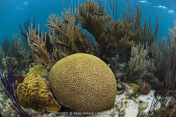 Brain Coral (Diploria labyrinthiformis), Belize Barrier Reef, Belize  -  Pete Oxford