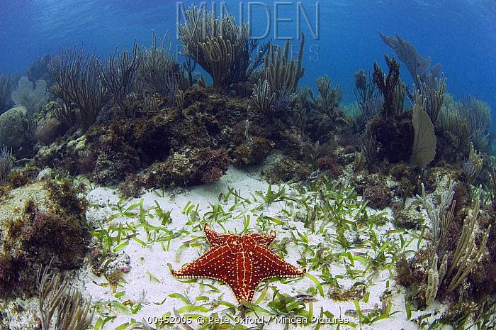 Cushioned Star (Oreaster reticulatus) on sandy ocean floor, Belize Barrier Reef, Belize  -  Pete Oxford