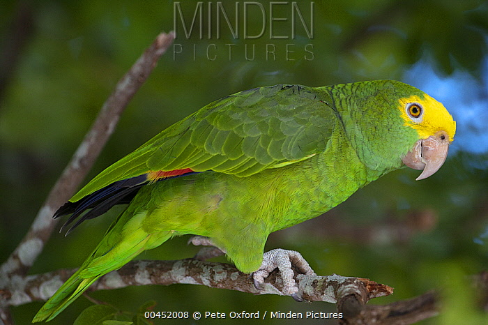 Yellow-headed Parrot (Amazona oratrix), Belize  -  Pete Oxford