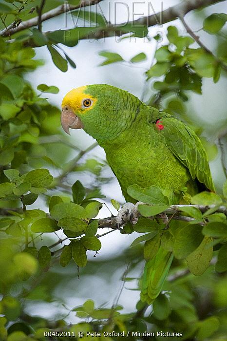 Yellow-headed Parrot (Amazona oratrix), Belize  -  Pete Oxford