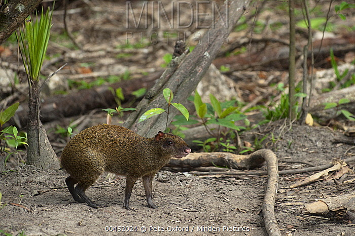 Agouti (Dasyprocta punctata), Belize Zoo, Belize  -  Pete Oxford