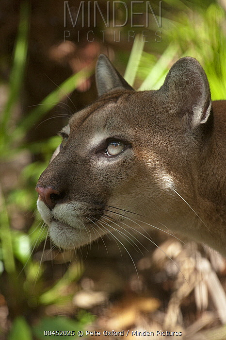 Mountain Lion (Puma concolor), Belize Zoo, Belize  -  Pete Oxford