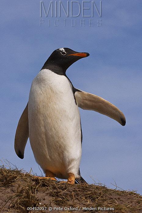 Gentoo Penguin (Pygoscelis papua) with raised flipper, West Falklands, Falkland Islands  -  Pete Oxford