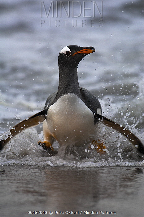 Gentoo Penguin (Pygoscelis papua) coming ashore, Sea Lion Island, Falkland Islands  -  Pete Oxford