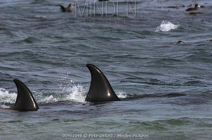 Orca (Orcinus orca) female dorsal fins, East Falkland Island, Falkland Islands  -  Pete Oxford