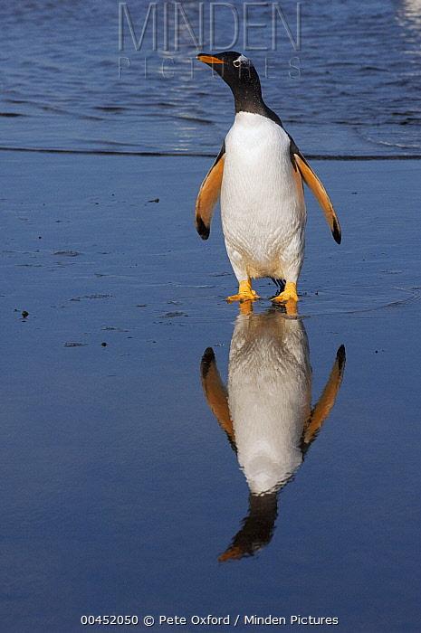 Gentoo Penguin (Pygoscelis papua) with reflection, Sea Lion Island, Falkland Islands  -  Pete Oxford