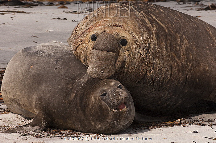 Southern Elephant Seal (Mirounga leonina) male attempting to mate with female, Sea Lion Island, Falkland Islands  -  Pete Oxford