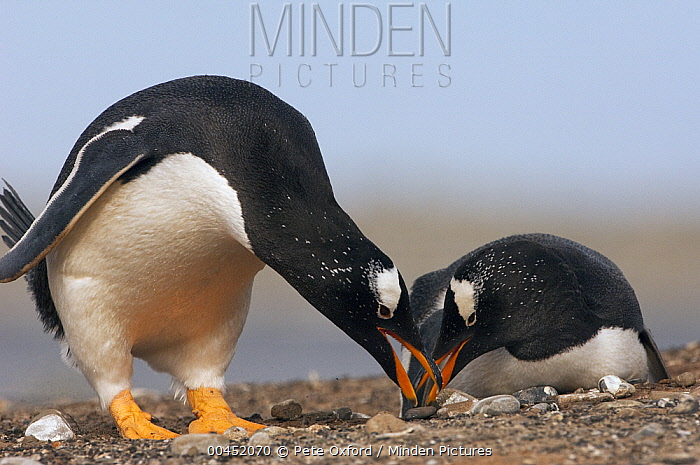 Gentoo Penguin (Pygoscelis papua) pair gathering rocks to make nest, Sea Lion Island, Falkland Islands  -  Pete Oxford
