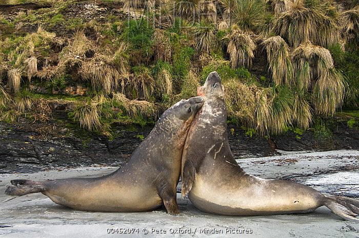 Southern Elephant Seal (Mirounga leonina) sub-adult males fighting for dominance, Sea Lion Island, Falkland Islands  -  Pete Oxford