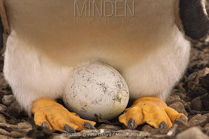Gentoo Penguin (Pygoscelis papua) incubating egg, Sea Lion Island, Falkland Islands  -  Pete Oxford