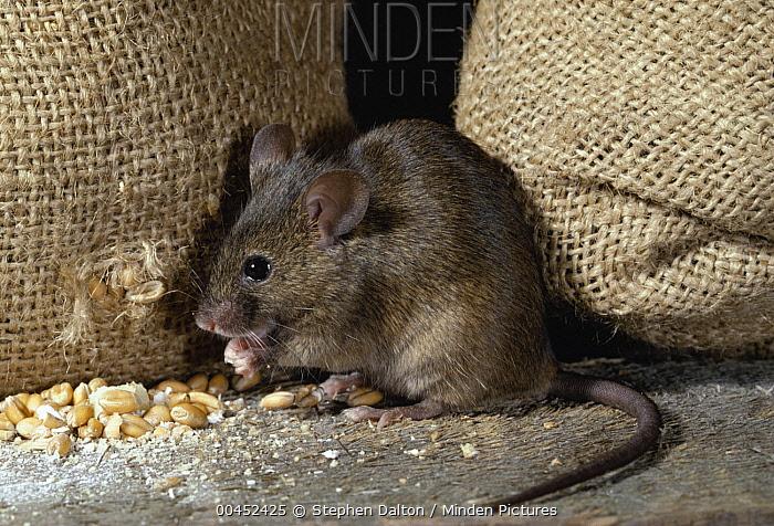 House Mouse (Mus musculus) raiding grain store  -  Stephen Dalton