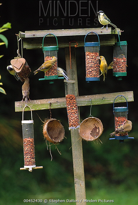 European Greenfinch (Chloris chloris), Blue Tits (Cyanistes caeruleus), and Great Tits (Parus major) on feeder, Sussex, England  -  Stephen Dalton