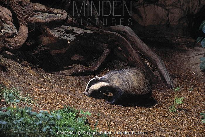 Eurasian Badger (Meles meles) in woodland at night  -  Stephen Dalton