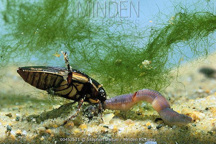 Great Diving Beetle (Dytiscus marginalis) feeding on worm  -  Stephen Dalton