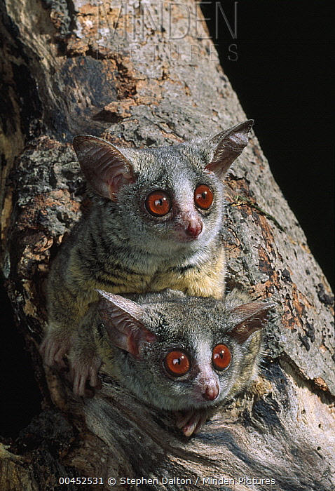 Lesser Bush Baby (Galago senegalensis) pair on lookout from tree  -  Stephen Dalton