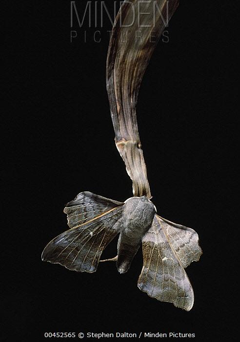 Poplar Hawk Moth (Laothoe populi) camouflaged on dead reed  -  Stephen Dalton