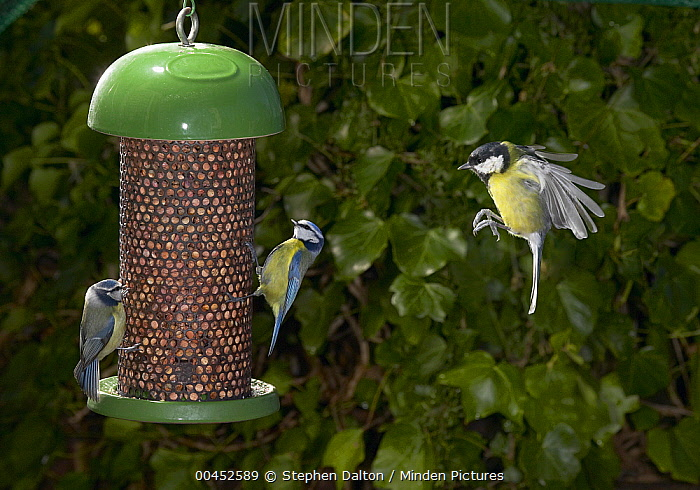 Blue Tit (Cyanistes caeruleus) pair at feeder with Great Tit (Parus major) arriving  -  Stephen Dalton