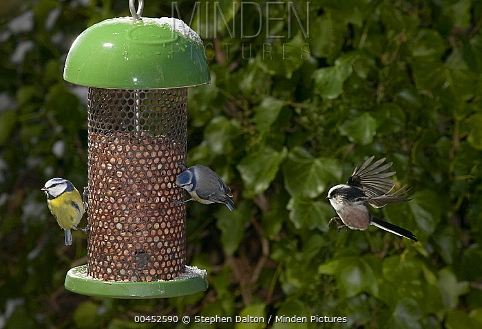 Long-tailed Tit (Aegithalos caudatus) flying to feeder with Blue Tit (Cyanistes caeruleus) pair  -  Stephen Dalton