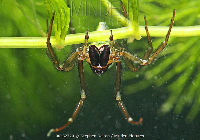 Water Spider (Argyroneta aquatica) underwater, England  -  Stephen Dalton