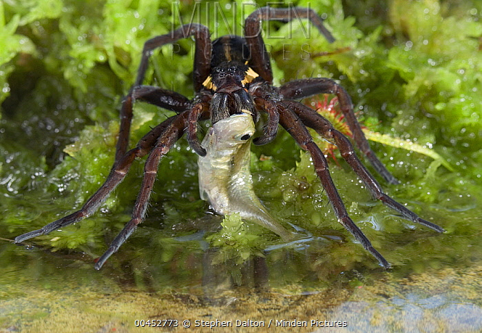 Raft Spider (Dolomedes fimbriatus) eating stickleback prey, England  -  Stephen Dalton