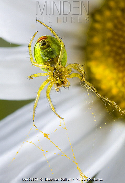 Cucumber Spider (Araniella cucurbitina) on on Ox-eye Daisy (Leucanthemum vulgare), UK  -  Stephen Dalton