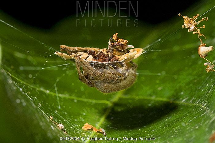 Orb-weaver Spider (Araneidae) using debris as camouflage, Costa Rica  -  Stephen Dalton