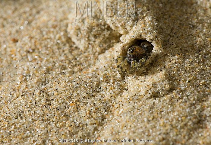 Wolf Spider (Arctosa perita) peering out of dune retreat, UK  -  Stephen Dalton